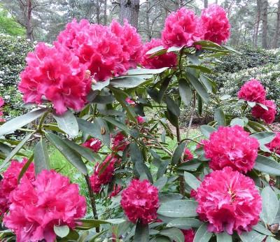 Blüten rot jpg